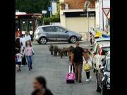 Rome wild boar join kids at school gates