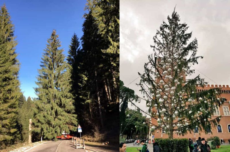 spelacchio before and after romans quickly christened the unfortunate christmas tree
