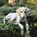 Beautiful Saluki puppies available